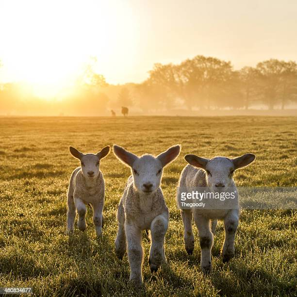 Three lambs running in a field at sunset, England, UK