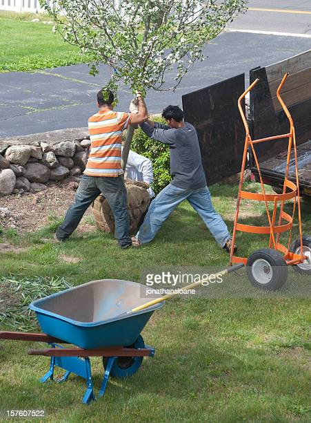 Three landscapers planting a tree