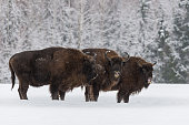 Three Large Brown Bison (Wisent) At  Birch Forest Background.Herd Of European Aurochs ( Bison, Bison Bonasus ) Standing On The Winter Field.Some Big European Wood Bison In Winter Forest. Belarus