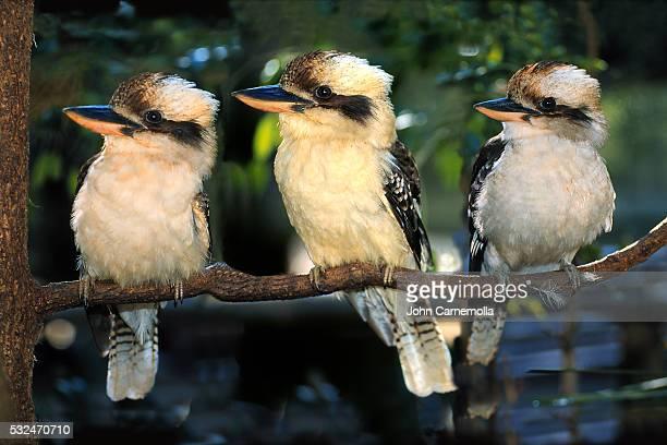 Three Laughing Kookaburras on Branch