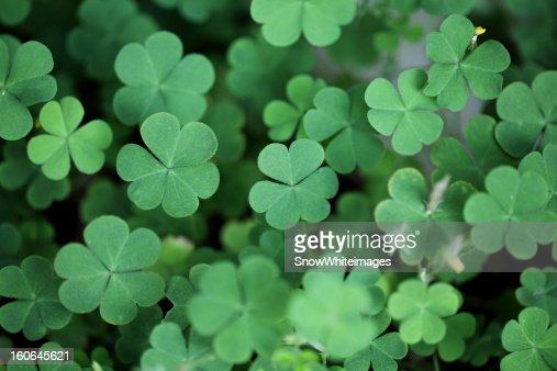 Three leaf clovers : Stock Photo