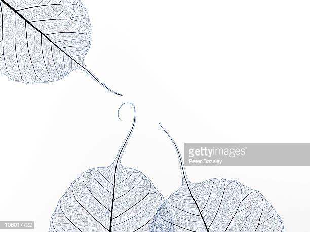 Three leaf skeletons with copy space