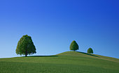 Three lime trees on fields