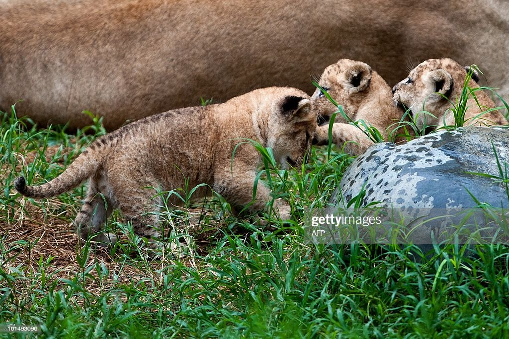 Three lions born in captivity twenty days ago, play near her mother at the zoo in Cali, Valle del Cauca department, Colombia, on February 11, 2013. AFP PHOTO/LUIS ROBAYO