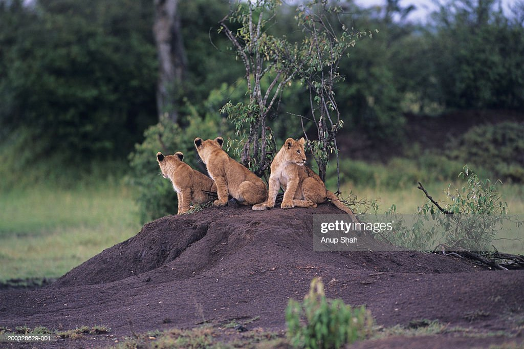 Three lions (Panthera leo) sitting on dirt mount, Kenya : Stock Photo
