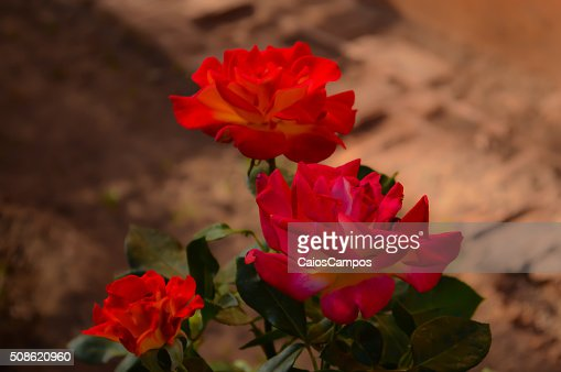 Three little red roses : Stock Photo