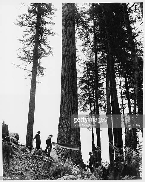 Three loggers falling a Douglas fir in Forks on the Olympic Peninsula