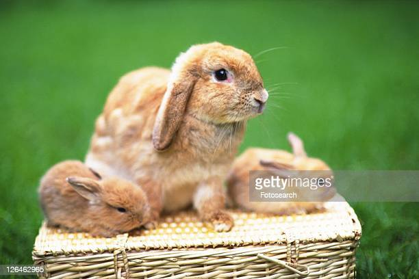 Three Lop Ear Rabbits on a Basket, Looking Sideways, Surrounded By Green, Side View, Differential Focus