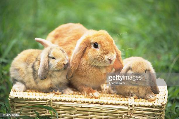 Three Lop Ear Rabbits Sitting on a Basket Surrounded by Green, Front View