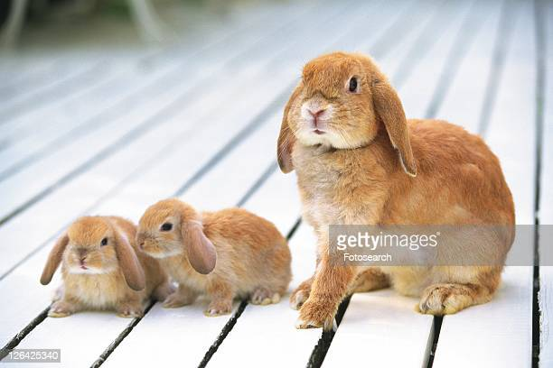 Three Lop Ear Rabbits Standing on a Wooden Floor, Looking Sideways, Front View, Differential Focus