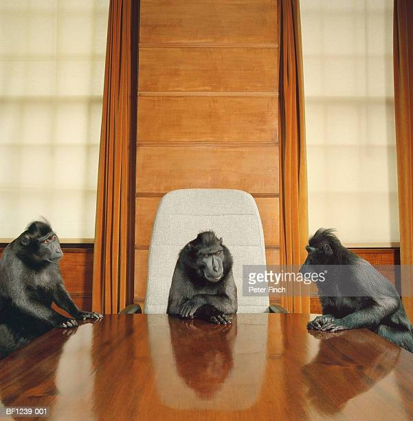 Three macaques around conference table
