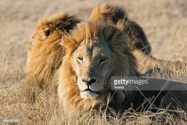 Three male lions resting on the savanna Moremi Game Reserve Botswana Southern Africa