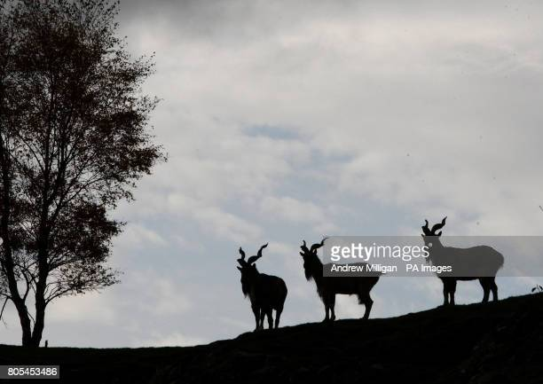 Three Markhor goats silhouetted on the hill side of their enclosure at the Highland Wildlife Park at Kingussie