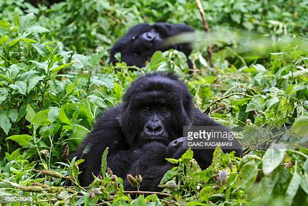 Three members of the 'Nyakagezi' mountain gorillas group rest at the Mgahinga Gorilla National park in Kisoro on November 20 2015 About 400 mountain...
