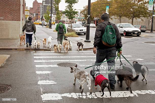 Three men walking many dogs in Queens, New York