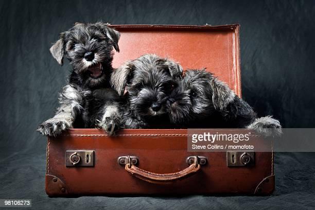 Three Miniature Schnauzer Puppies in Old Suitcase
