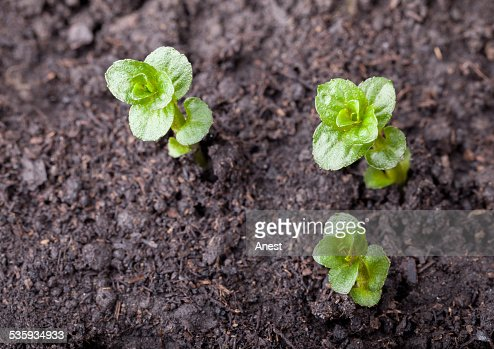 Three mint plantlet : Stock Photo
