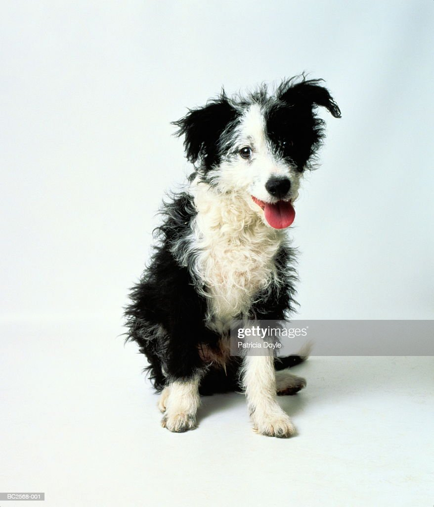 Three month old border collie cross-breed puppy, sitting : Stock Photo