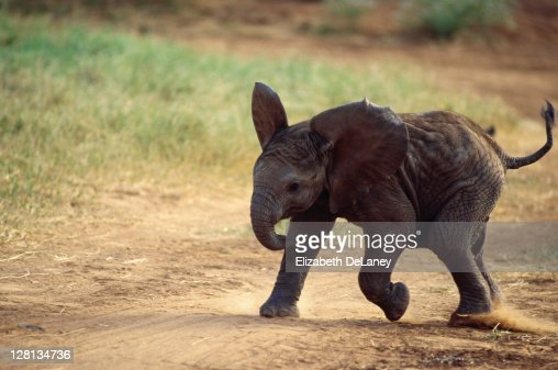 Three month old elephant, Serengeti NP, Tanzania : Stock Photo