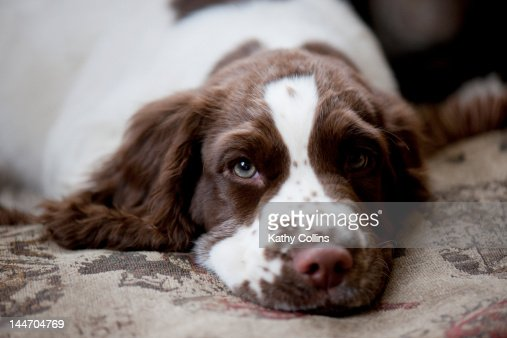 Three month old English Springer Spaniel : Stock Photo