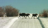 Three moose walk across a road February 9 2001 in Pinedale Wyoming The moose are a common site in the rural nieghorhood Many of the residents feed...