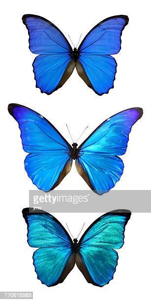 Three Morpho butterflies