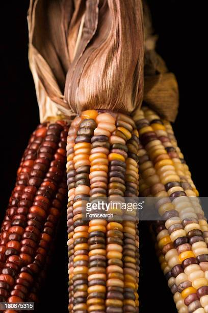 Three multicolored ears of Indian corn