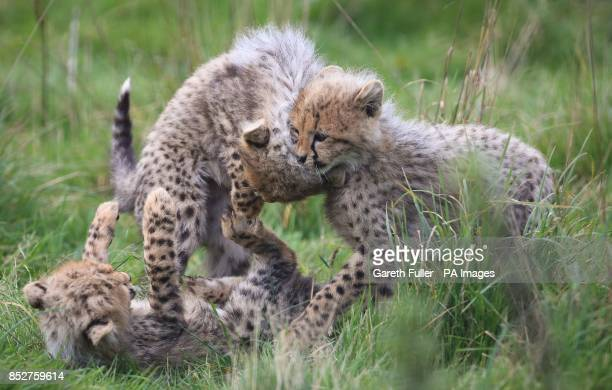 Three of four as yet unnamed Southern Cheetah cubs play in their enclosure as they make their public debut at Port Lympne Wild Animal Park near...