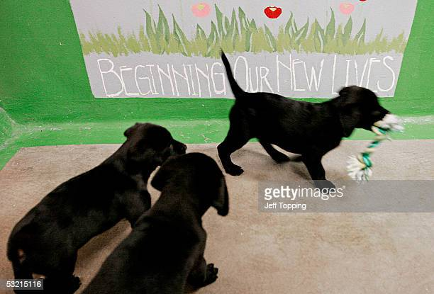 Three of seven puppies born in the Maricopa Animal Safe Hospice at the Maricopa County Jail to Precious a Labrador mix play in the common area July 5...