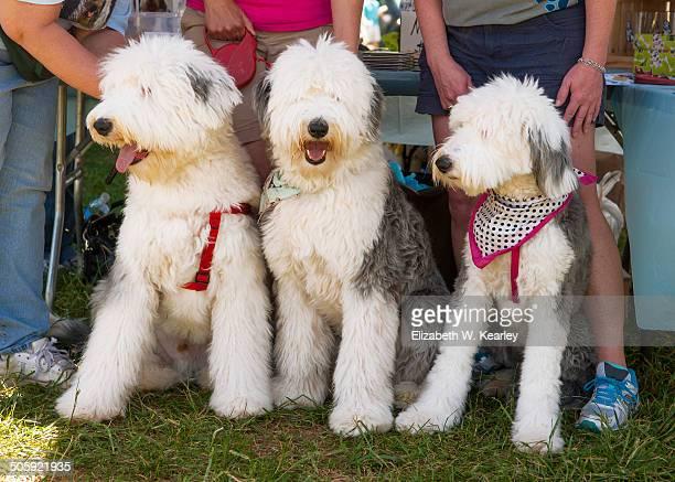 Three old English sheepdogs
