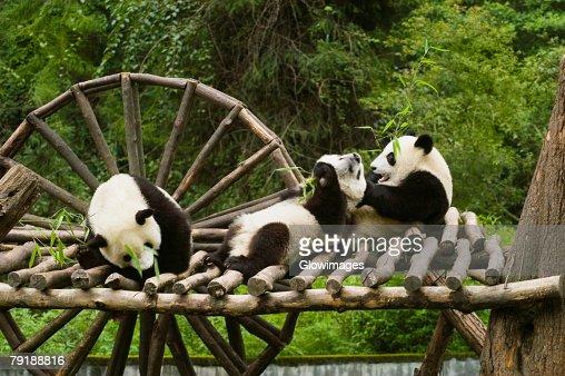 Three pandas (Alluropoda melanoleuca) sitting on a wooden platform : Stock Photo