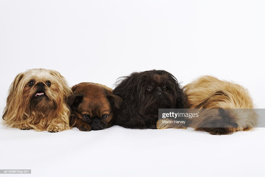 Three Pekingese dogs and single Pug lying down in row : Stock Photo