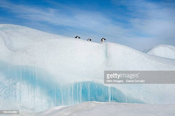 Three penguin chicks, in a row, heads seen peering over a snowdrift or ridge in the ice on Snow Hill island.