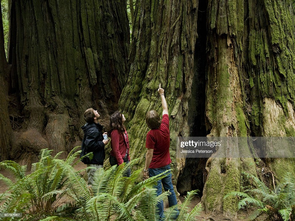 three people looking up at a giant redwood