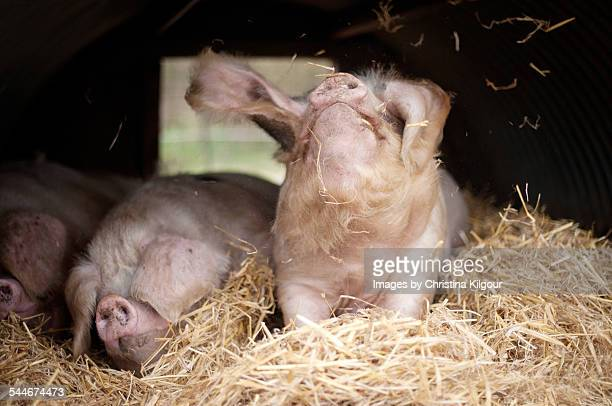 Three pigs in a straw filled sty