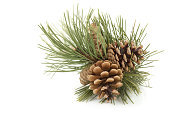 Pine branch with pine cones