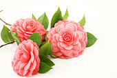 Three pink camellia flowers on a white background