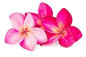 Three Pink Frangipani on white background