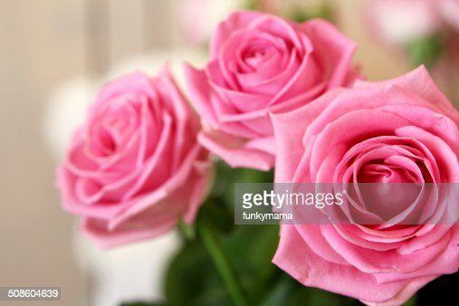 Three Pink Roses : Stock Photo