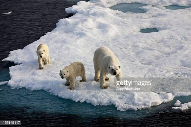 Three Polar bears on an ice flow