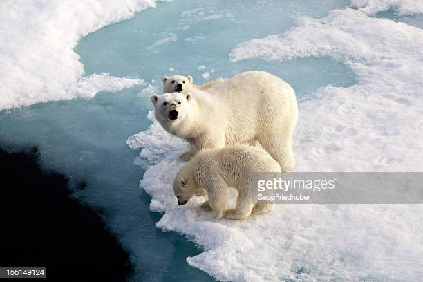 3 つの氷の上にいる北極グマのフロー