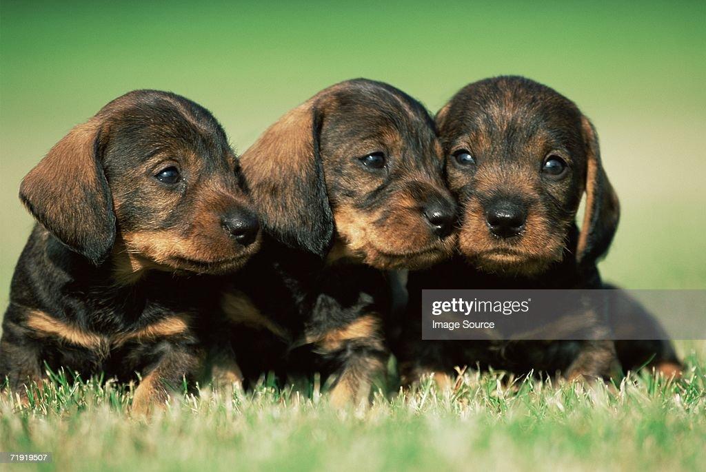 Three puppies : Stock Photo