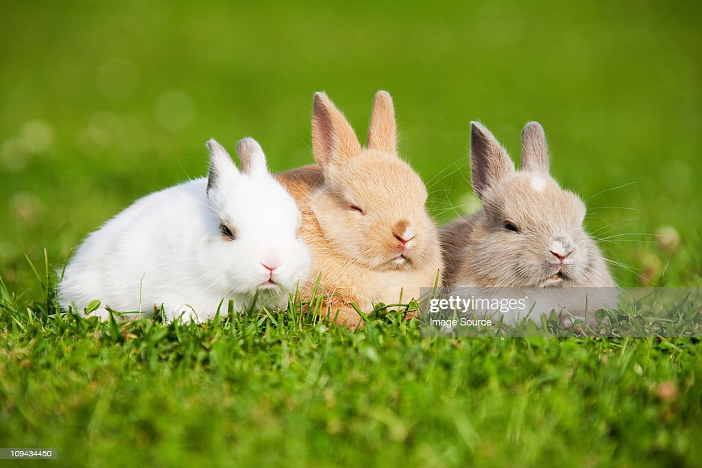 Three rabbits sitting on grass : Stock Photo