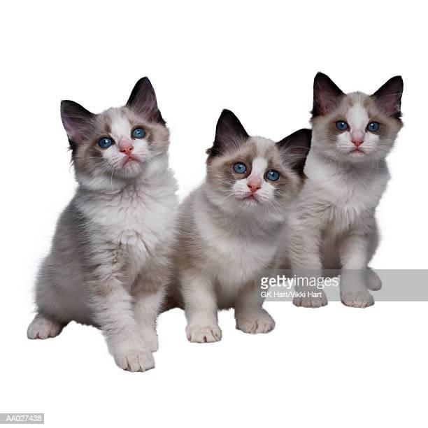 Three Ragdoll Kittens