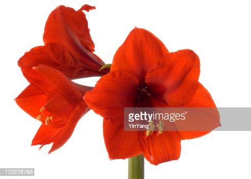 Three Red Amaryllis Hz
