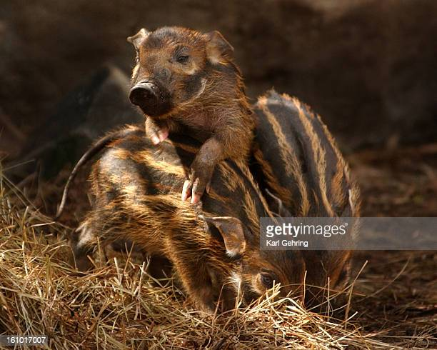 Three Red River Hog babies born March 15 made their public debut at the Denver Zoo Thursday morning The piglets' names are Roux Renny and Raina The...