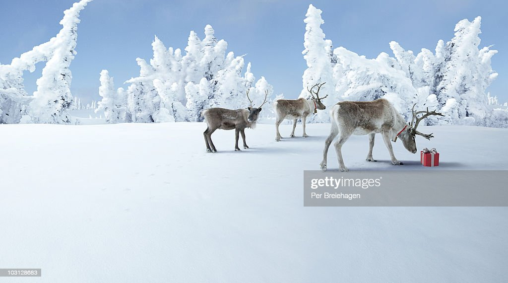 three reindeer check out a Christmas gift  : Stock Photo