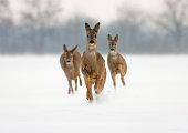 Three roe deer (capreolus capreolus) does running forward in high snow.