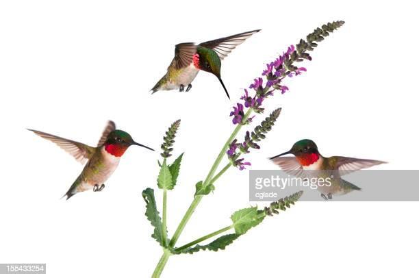 Trois à gorge rubis colibris Idolated sur blanc