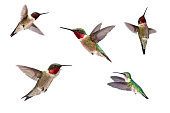Beautiful vibrant and pearlescent male Ruby Throated hummingbirds close up, males and one female, solated on white